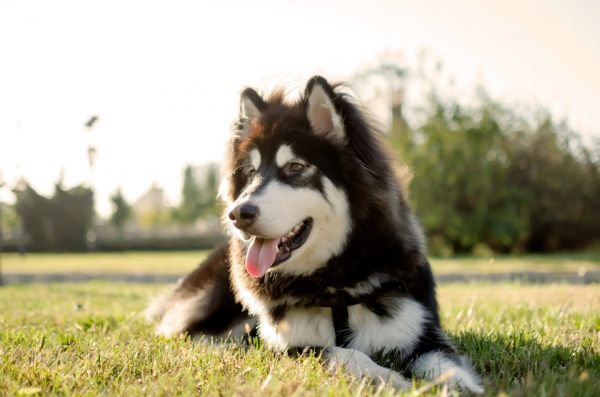 如何训练阿拉斯加幼犬